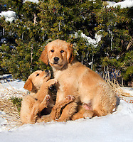 Golden retriever puppy looks up to bigger sibling, with evergreen tree and icicles