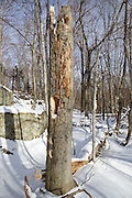 Woodpecker holes on snapped tree in forest along the Mt Tecumseh Trail in Waterville Valley, New Hampshire during the  winter months.