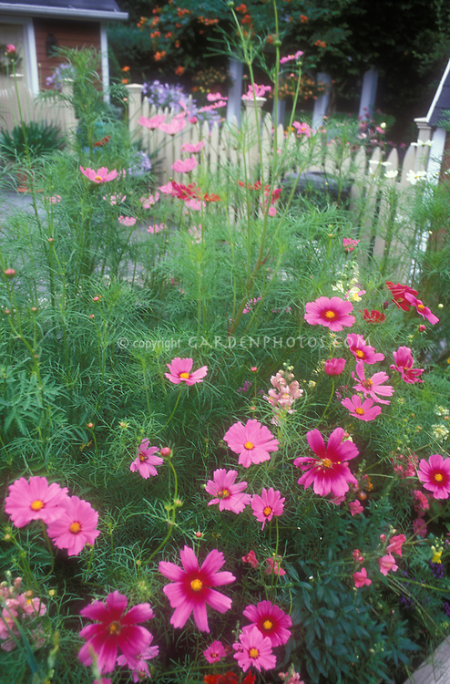 Cosmos bipinnatus annual flowers growing in the garden