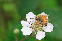 A honey bee
