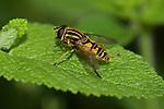 The Footballer Hoverfly, Helophilus pendulus, Sevenoaks Kent Wildlife Trust Nature Reserve, UK, resting on leaf