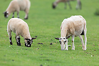 Ewes and lambs grazing<br /> ©Tim Scrivener Photographer 07850 303986<br />      ....Covering Agriculture In The UK....