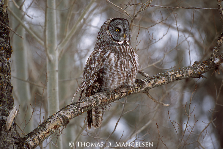 Great Gray Owl perched on a branch in Minnesota.