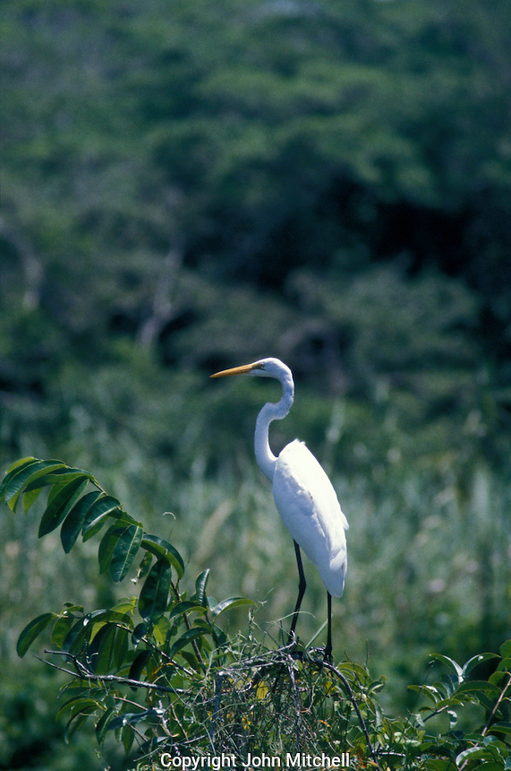 Great White Heron or garza real stnding in the Mangrove marches near the town of San Blas, Nayarit. Mexico