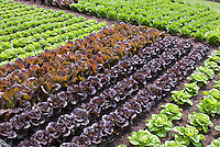 Lettuce varieties growing in garden rows Lettuce 'Little Lepreuchan (l), 'Pandero' (r)