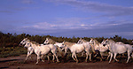 Europe, FRA, France, Provence, Camargue, Wild Horses....[ For each utilisation of my images my General Terms and Conditions are mandatory. Usage only against use message and proof. Download of my General Terms and Conditions under http://www.image-box.com or ask for sending. A clearance before usage is necessary...Material is subject to royalties. Each utilisation of my images is subject to a fee in accordance to the present valid MFM-List...Contact | archive@image-box.com | www.image-box.com ]