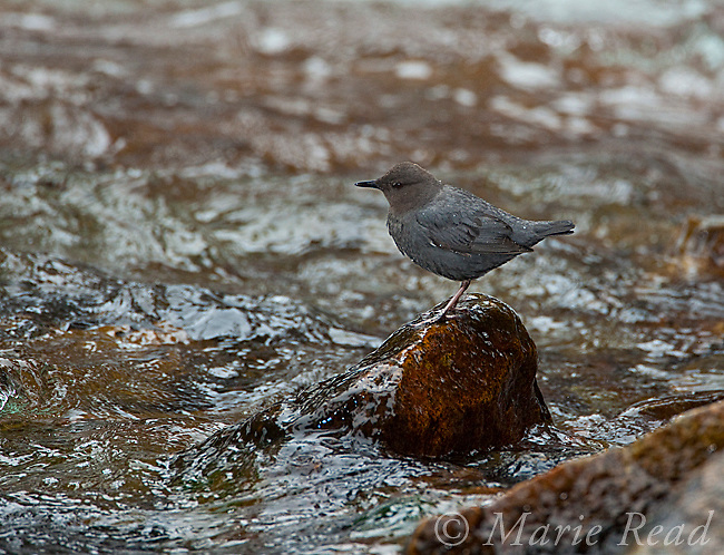 American Dipper (Cinclus mexicanus), perched on a rock in a creek, Lee Vining Creek, Mono Lake Basin, California, USA