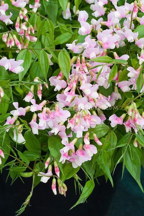 Lathyrus vernus 'Rosenelfe' aka Rose Elf, Hardy sweet pea in spring pink flowers, perennial sweetpeas