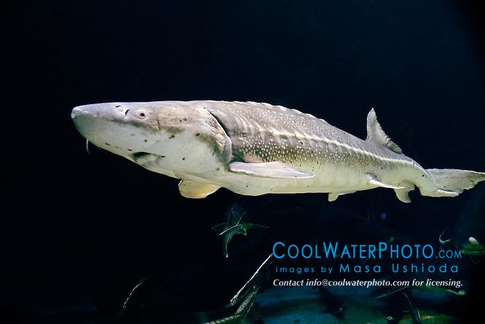 white sturgeon, Acipenser transmontanus, Alaska to Baja, North America, excellent food fish and eggs are marketed as caviar (c)