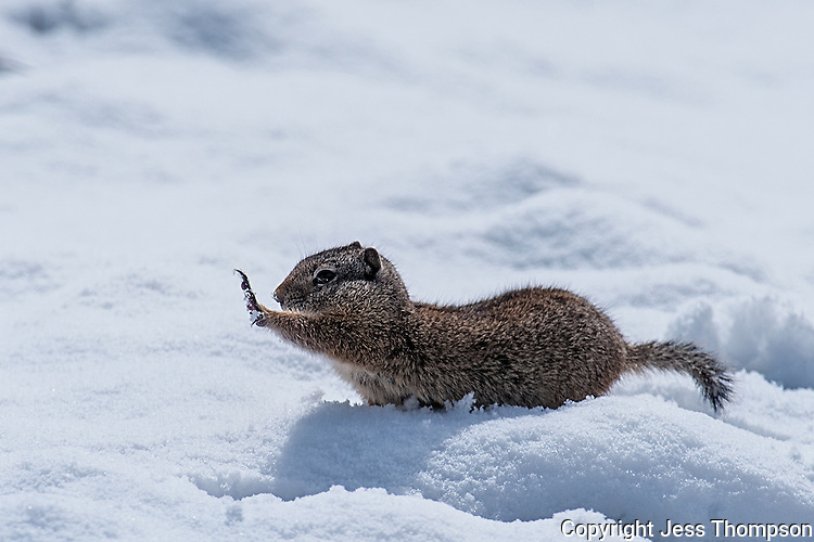 Uinta Ground Squirrel, Yellowstone National Park