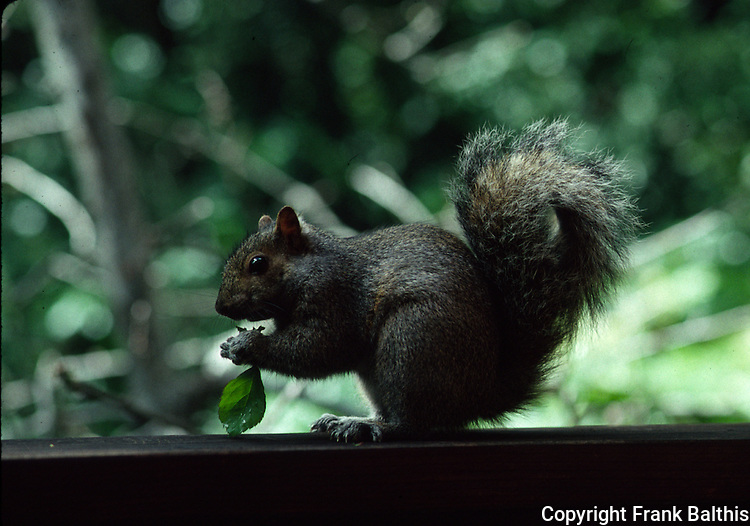 gray squirrel eating rose leaf