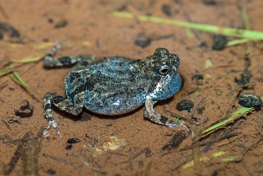 Tungara frog (Engystomops pustulosus)