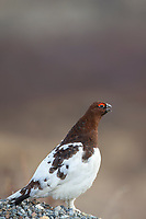 Male willow ptarmigan, Denali National Park, Alaska.