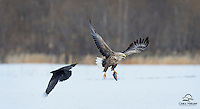 Raven approaches White-tailed Eagle with thoughts of taking the Eagle's fish, but apparently thought better of it.  Good for the Raven that it came to its senses.  The White-tailed is a massive raptor about the size of a bald eagle, with a similar attitude.  Japan.