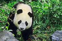 Young Giant Panda (Ailuropoda melanoleuca)