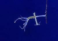 Hydra fusca