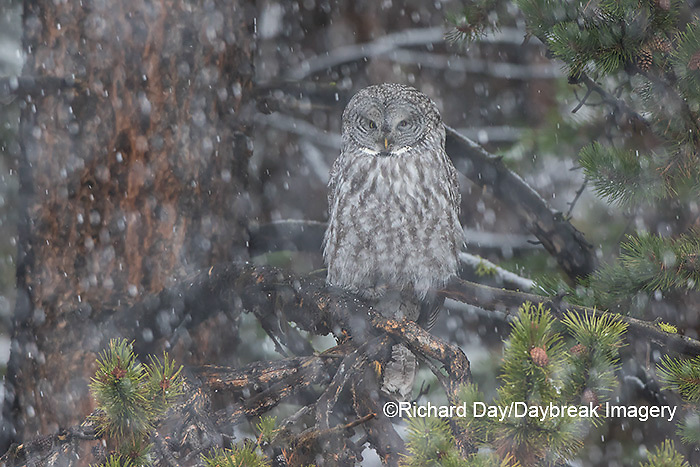 01128-00109 Great Gray Owl (Strix nebulosa) in snowstorm, Yellowstone National Park, WY