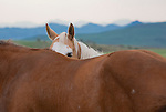 A Horse peeks over the back of another horse in a Montana pasture