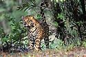 Male jaguar (Panthera onca) spray / scent marking vegetation on the river bank. Cuiaba River, Northern Pantanal, Mato Grosso, Brazil.