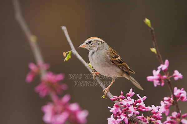 Chipping Sparrow, Spizella passerina, adult perched on branch of blooming Eastern redbud (Cercis canadensis), New Braunfels, Texas, USA