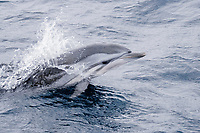 Striped Dolphin, Stenella coeruleoalba, breaking the surface while porpoising, Maldives, Indian Ocean