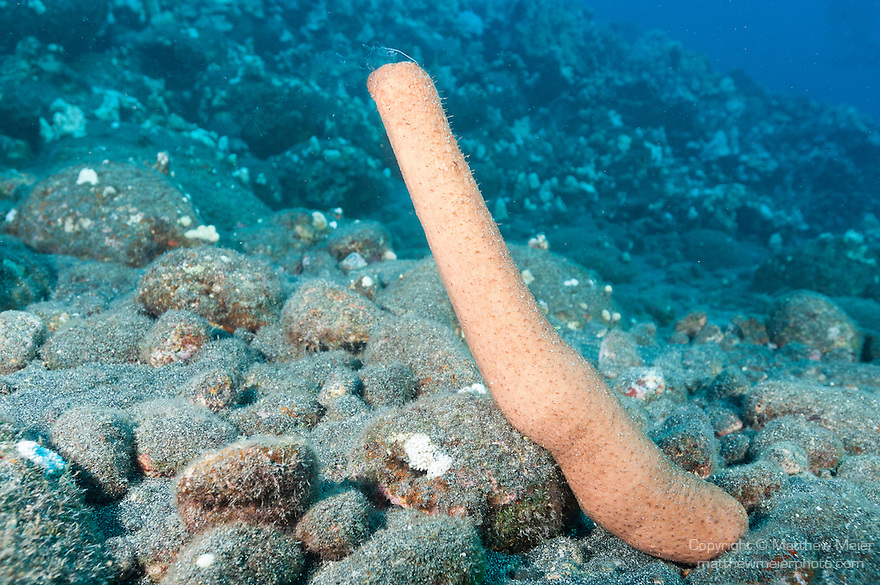 Kona, Big Island of Hawaii, Hawaii; a sea cucumber attempts to reproduce by releasing sperm or ova into the water column