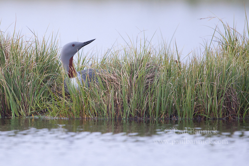 Red-troated Loons are among several birds that share habitat with and sometimes nest close to Snowy Owls.