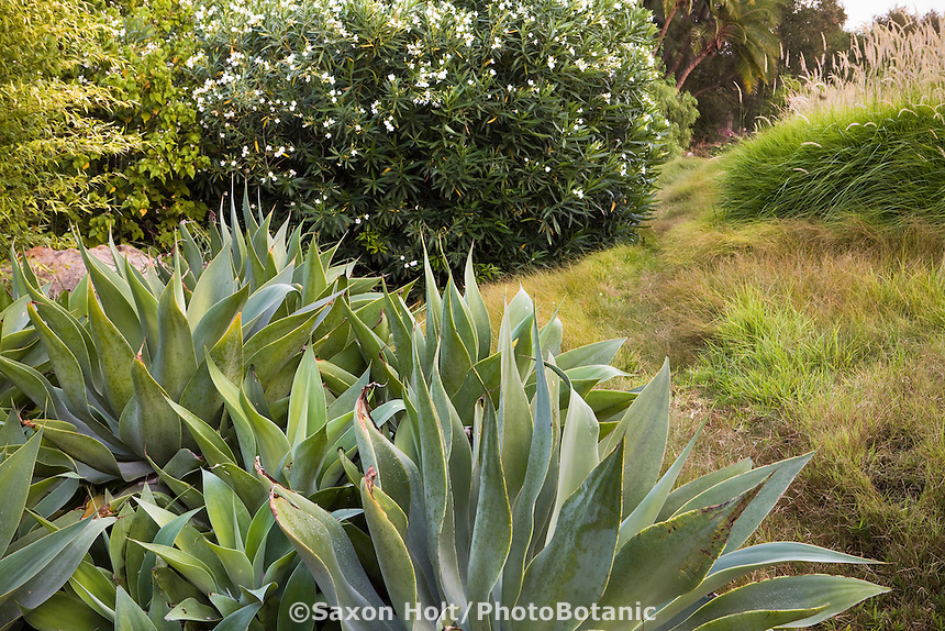 Succulents Agave attenuata in Santa Barbara drought tolerant garden with grasses and Oleander shrub design Francis Shannon