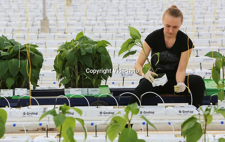 Foto VidiPhoto<br /> <br /> EST - Razendsnel plaatsen de Poolse werknemers van paprikakweker Van den Berg uit Est bij Geldermalsen dinsdag de 180.000 jonge paprikaplantjes in de ruim 10 ha. kassen. In het hele land zijn kwekers op dit moment bezig hun bedrijven te voorzien van nieuwe planten, na een goed oogstseizoen. En dat is voor het eerst in zeven jaar. Dankzij het donkere voorjaar 2013, met als gevolg lagere productie -en het faillissement van diverse kwekers- waren de prijzen van de paprika's afgelopen jaar relatief hoog. Begin maart 2014 worden de eerste nieuwe paprika's geoogst. De meeste paprika's worden naar Duitsland, Rusland en Noord-Europa ge&euml;xporteerd.