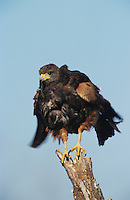 Harris's Hawk, Parabuteo unicinctus, adult, Willacy County, Rio Grande Valley, Texas, USA, May 2004