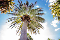 Looking up into a Chilean Wine Palm tree (Jubaea chilensis) with radiating leaves from trunk