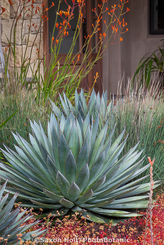 Agave 'Blue Glow' (gray foliage succulent in summer-dry garden Santa Barbara California