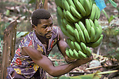 Cutting bananas for the weekly shipment to the UK
