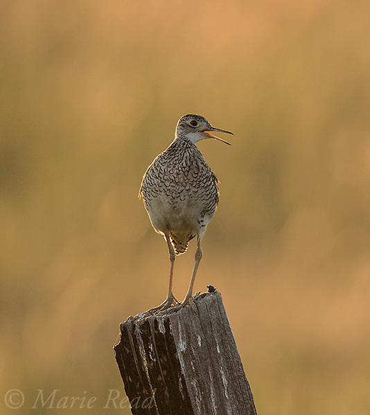 Upland Sandpiper (Bartramia longicauda), backlit, calling while perched on fencepost, Benton Lake National Wildlife Refuge, Montana, USA.