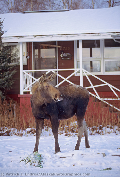Cow moose in a residential housing are in Fairbanks, Alaska