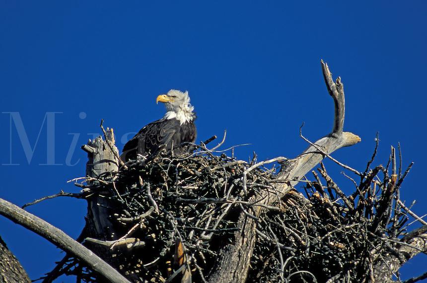 Bald Eagle (Haliaeetus leucocephalus) on the nest in Yellowstone National Park