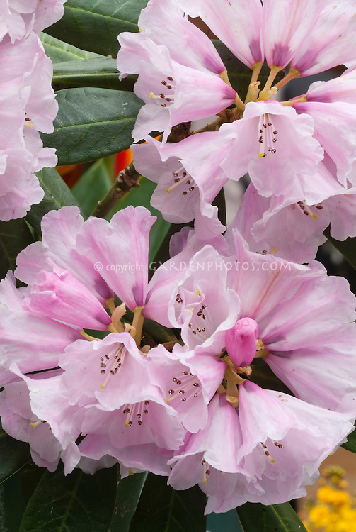 Rhododendron fulvum pink flowers and buds