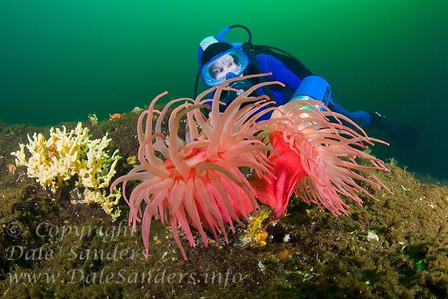 Diver and Crimson Anemones.