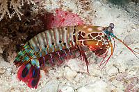 peacock mantis shrimp, Odontodactylus scyllarus, Malé, Maldives, Indian Ocean