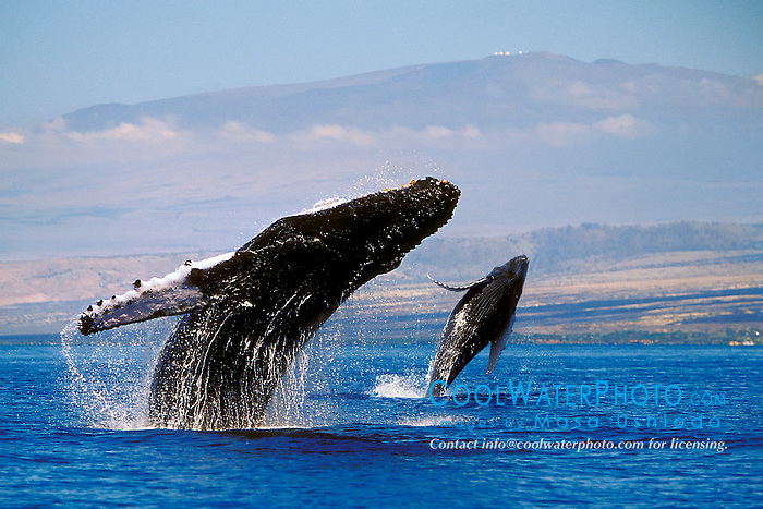humpback whale mother and calf, double breach, Megaptera novaeangliae, Hawaii, Pacific Ocean (dc)