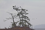 Puget Sound, Hood Canal, Hamma Hamma River estuary, bald eagles, rain, winter, Washington State, Pacific Northwest, USA,