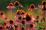 field of common purple coneflower or echinacea flowers growing on organic herb farm , helpful in support of ear infections , vaginal yeast infections , colds , flu , and chronic infections ; it helps boost T-cell production and raises white blood cell count