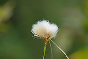 Cotton Grass - Eriophorum virginicum - in the White Mountains, New Hampshire USA.
