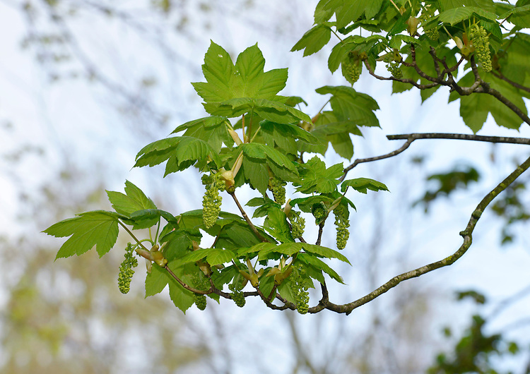 Sycamore - Acer pseudoplatanus Aceraceae. Height to 35m <br /> Vigorous, spreading deciduous tree. Bark Greyish, fissured and flaking. Branches Thick, with grey-green twigs and reddish buds. Leaves To 15cm long, with 5 toothed lobes. Reproductive parts Flowers in pendulous, yellowbloom, blooming, blossom, blossoming, close, close-up, closeup, deciduous, flower, flowering, flowers, in, portrait, spread, spreading, tree, trees, up, vertical clusters, to 12cm long. Paired wings of fruits spread acutely, curve in slightly towards tip. Status Introduced, widely planted and naturalised.
