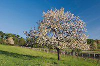 Vineyards with Apple trees in bloom, National Park Lake Neusiedl, Burgenland, Austria, April 2007