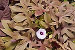 Bronze Sweet Caroline Ornamental Sweet Potato, Ipomoea hybrid