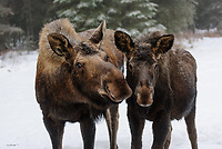 A moose and her calf give a curious glance during a search for grzing material during a winter day in Kenai, Alaska.