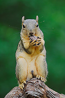 Eastern Fox Squirrel (Sciurus niger), male eating pecan nut, Refugio, Coastel Bend, Texas, USA
