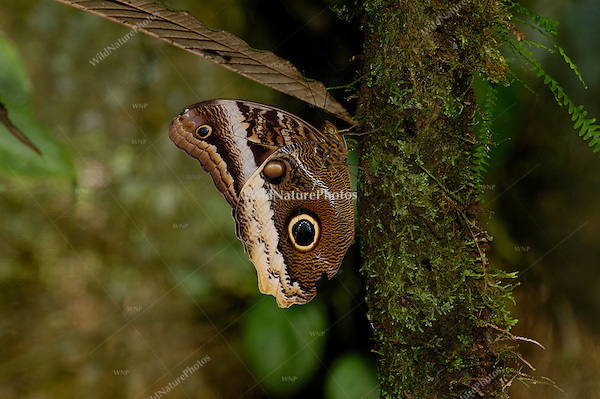 The Caligo (Owl) Butterfly, Caligo atreus, uses eyespots to confuse predators