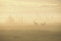 Caribou browse in lifting fog at the edge of a spruce forest at sunrise near Kenai, Alaska